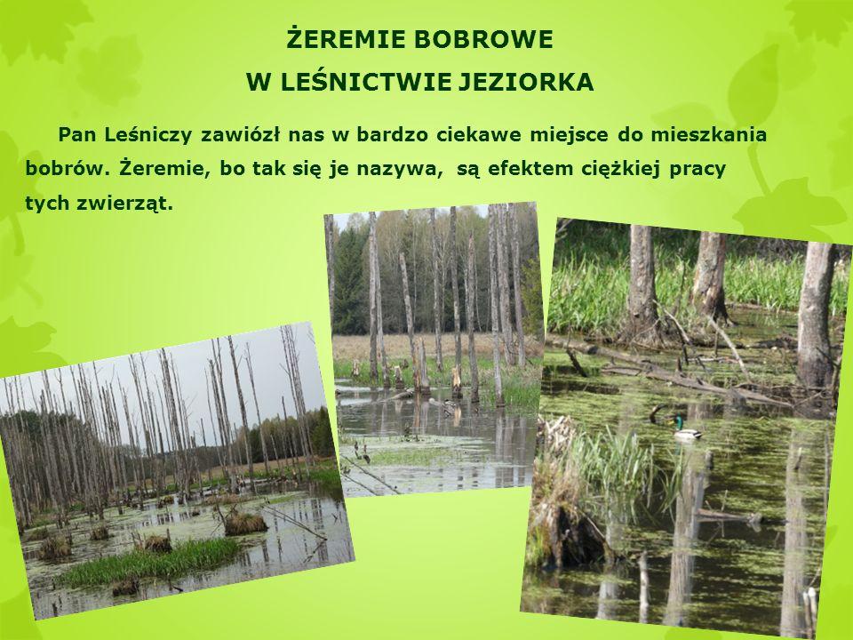 ŻEREMIE BOBROWE W LEŚNICTWIE JEZIORKA Pan Leśniczy zawiózł nas w bardzo ciekawe miejsce do mieszkania bobrów. Żeremie, bo tak się je nazywa, są efekte