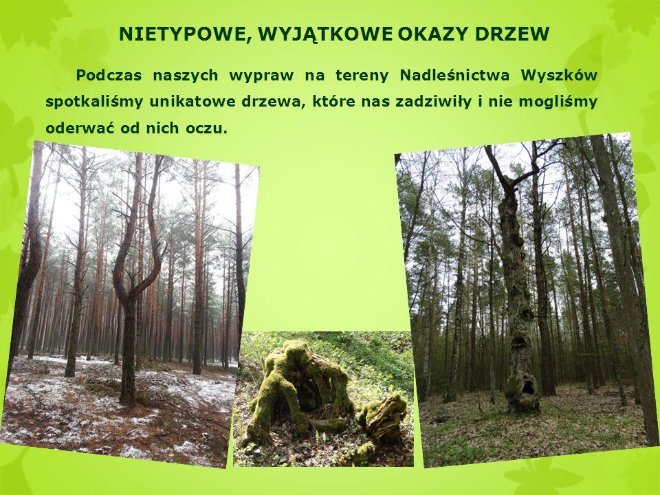 NIETYPOWE, WYJĄTKOWE OKAZY DRZEW Podczas naszych wypraw na tereny Nadleśnictwa Wyszków spotkaliśmy unikatowe drzewa, które nas zadziwiły i nie mogliśm