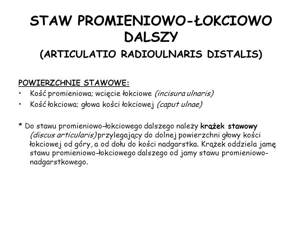 STAW PROMIENIOWO-ŁOKCIOWO DALSZY (ARTICULATIO RADIOULNARIS DISTALIS) POWIERZCHNIE STAWOWE: Kość promieniowa; wcięcie łokciowe (incisura ulnaris) Kość łokciowa; głowa kości łokciowej (caput ulnae) * Do stawu promieniowo-łokciowego dalszego należy krążek stawowy (discus articularis) przylegający do dolnej powierzchni głowy kości łokciowej od góry, a od dołu do kości nadgarstka.