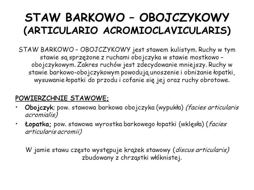 STAW BARKOWO – OBOJCZYKOWY (ARTICULARIO ACROMIOCLAVICULARIS) STAW BARKOWO – OBOJCZYKOWY jest stawem kulistym.