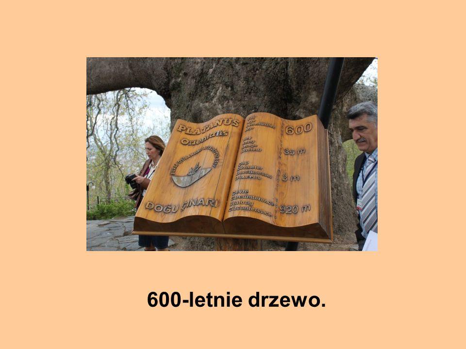 600-letnie drzewo.
