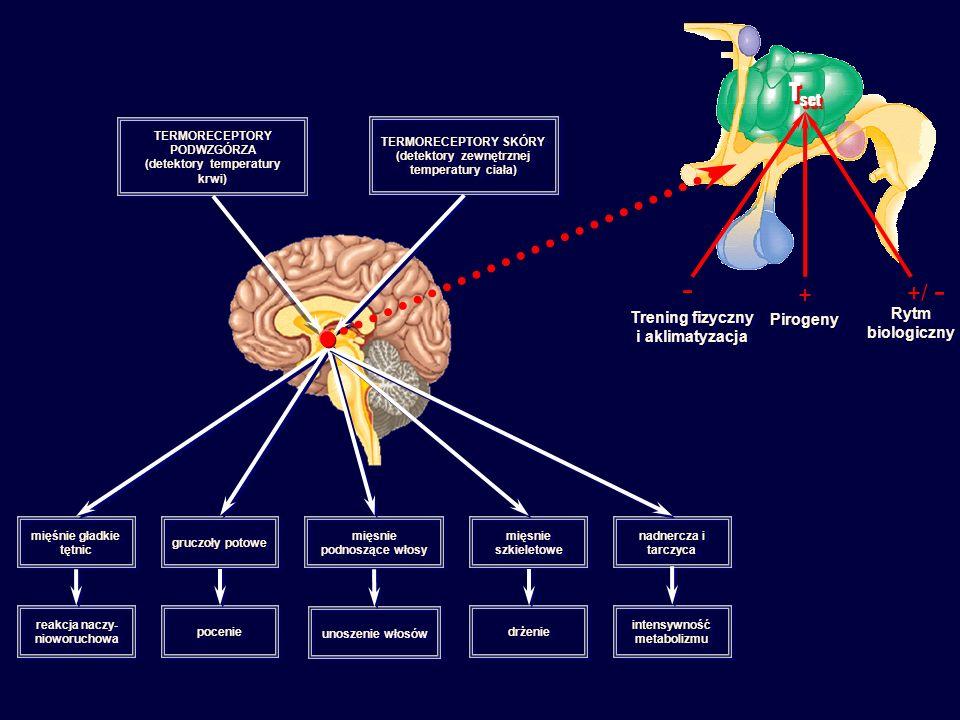 TERMORECEPTORY PODWZGÓRZA (detektory temperatury krwi) TERMORECEPTORY PODWZGÓRZA (detektory temperatury krwi) TERMORECEPTORY SKÓRY (detektory zewnętrznej temperatury ciała) TERMORECEPTORY SKÓRY (detektory zewnętrznej temperatury ciała) mięśnie gładkie tętnic gruczoły potowe mięsnie podnoszące włosy mięsnie szkieletowe nadnercza i tarczyca reakcja naczy- nioworuchowa poceniepocenie unoszenie włosów drżeniedrżenie intensywność metabolizmu T set Trening fizyczny i aklimatyzacja PirogenyPirogeny Rytm biologiczny - + +/ -