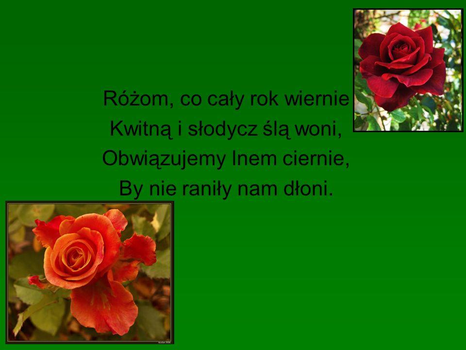 Różom, co cały rok wiernie Kwitną i słodycz ślą woni, Obwiązujemy lnem ciernie, By nie raniły nam dłoni.