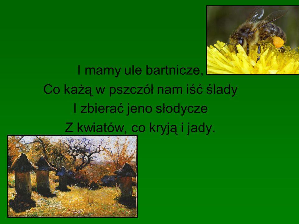 I mamy ule bartnicze, Co każą w pszczół nam iść ślady I zbierać jeno słodycze Z kwiatów, co kryją i jady.
