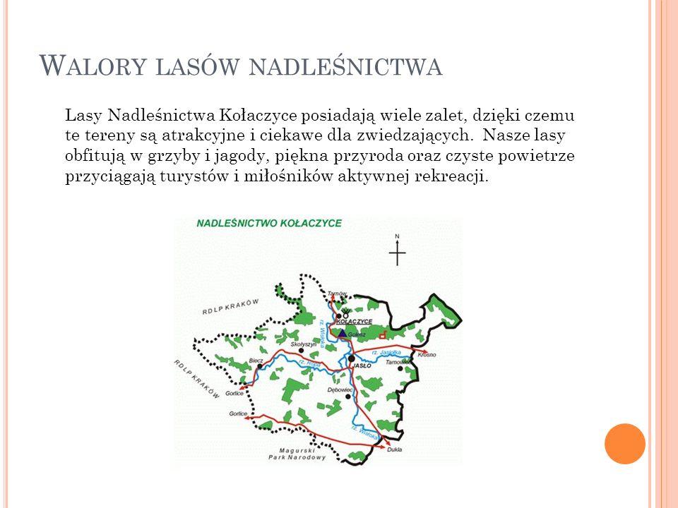 W ALORY LASÓW NADLEŚNICTWA Lasy Nadleśnictwa Kołaczyce posiadają wiele zalet, dzięki czemu te tereny są atrakcyjne i ciekawe dla zwiedzających. Nasze