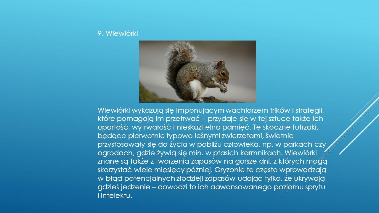 9. Wiewiórki Wiewiórki wykazują się imponującym wachlarzem trików i strategii, które pomagają im przetrwać – przydaje się w tej sztuce także ich upart