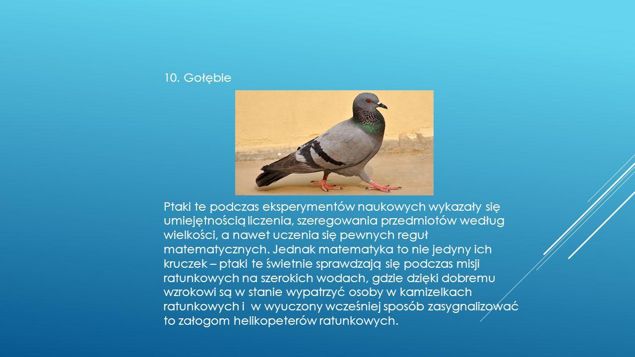 10. Gołębie Ptaki te podczas eksperymentów naukowych wykazały się umiejętnością liczenia, szeregowania przedmiotów według wielkości, a nawet uczenia s