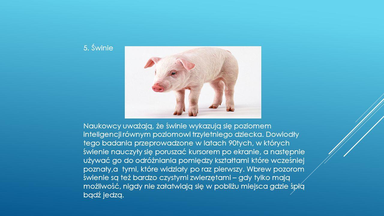 5. Świnie Naukowcy uważają, że świnie wykazują się poziomem inteligencji równym poziomowi trzyletniego dziecka. Dowiodły tego badania przeprowadzone w