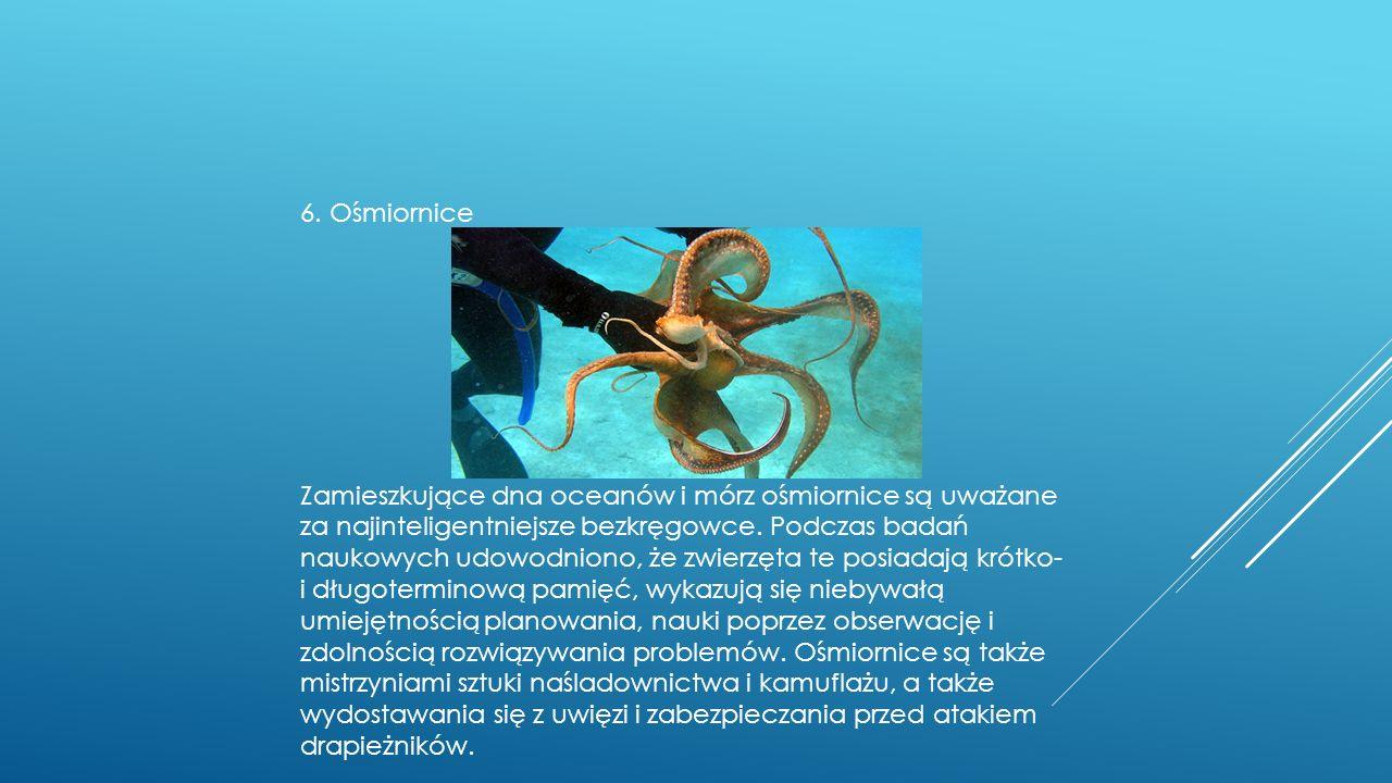 6. Ośmiornice Zamieszkujące dna oceanów i mórz ośmiornice są uważane za najinteligentniejsze bezkręgowce. Podczas badań naukowych udowodniono, że zwie