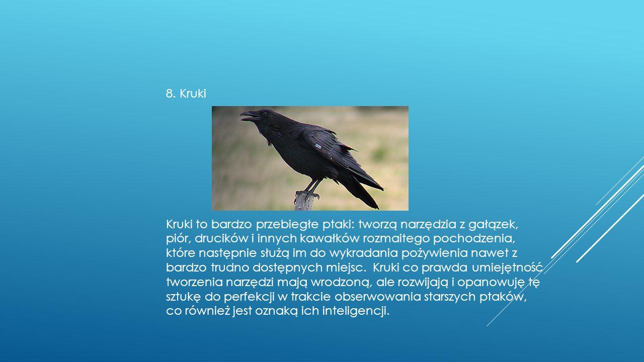 8. Kruki Kruki to bardzo przebiegłe ptaki: tworzą narzędzia z gałązek, piór, drucików i innych kawałków rozmaitego pochodzenia, które następnie służą