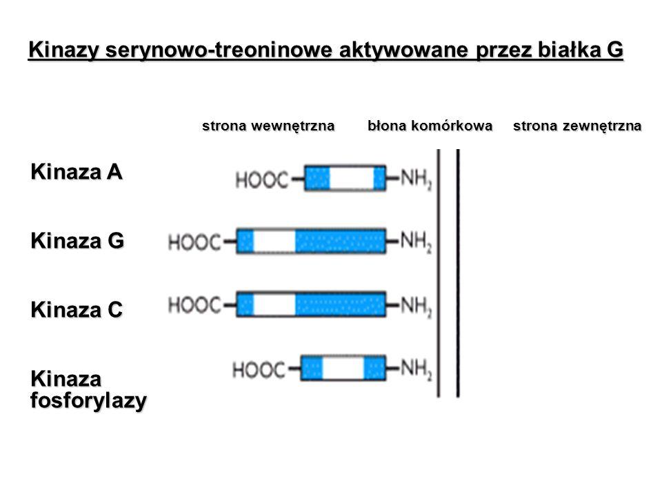 Kinazy serynowo-treoninowe aktywowane przez białka G strona wewnętrzna błona komórkowa strona zewnętrzna Kinaza A Kinaza G Kinaza C Kinaza fosforylazy
