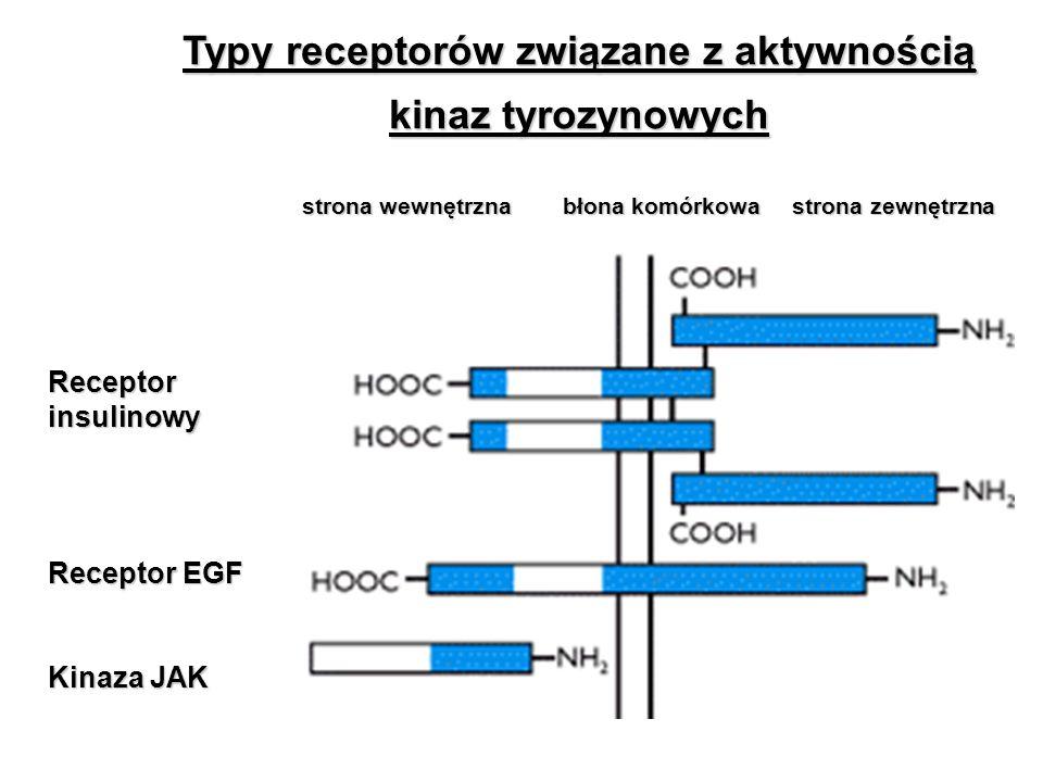 Typy receptorów związane z aktywnością kinaz tyrozynowych strona wewnętrzna błona komórkowa strona zewnętrzna Receptor insulinowy Receptor EGF Kinaza