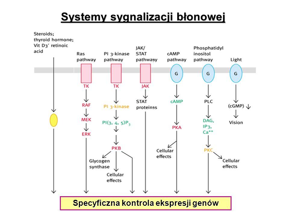 Specyficzna kontrola ekspresji genów Systemy sygnalizacji błonowej