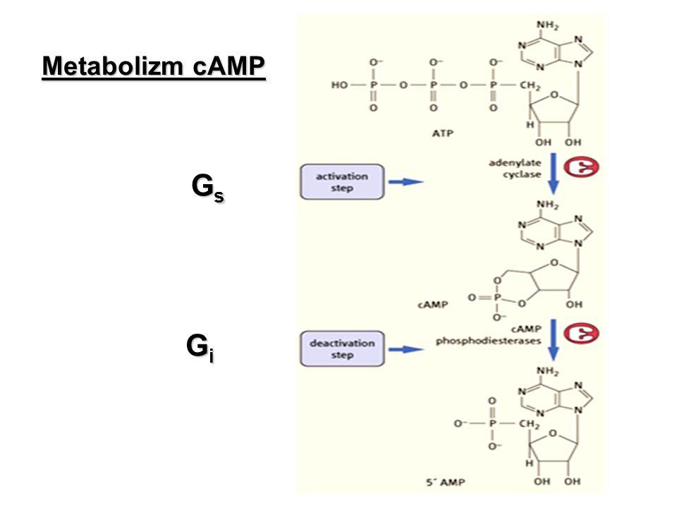 PKA składa się z 2 podjednostek regulatorowych i 2 podjednostek katalitycznych Przyłączenie cAMP do podjednostek regulatorowych uwalnia podjednostki katalityczne Podjednostki katalityczne przeprowadzają reakcje fosforylacji substratów na serynie i/lub treoninie Kinaza białkowa A