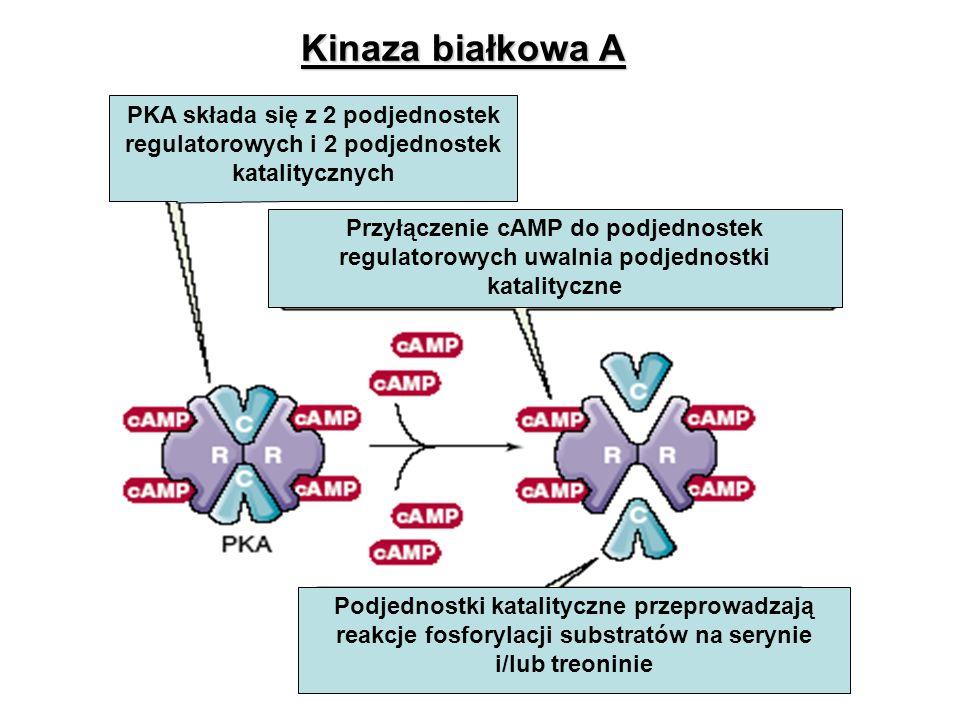 PKA składa się z 2 podjednostek regulatorowych i 2 podjednostek katalitycznych Przyłączenie cAMP do podjednostek regulatorowych uwalnia podjednostki k