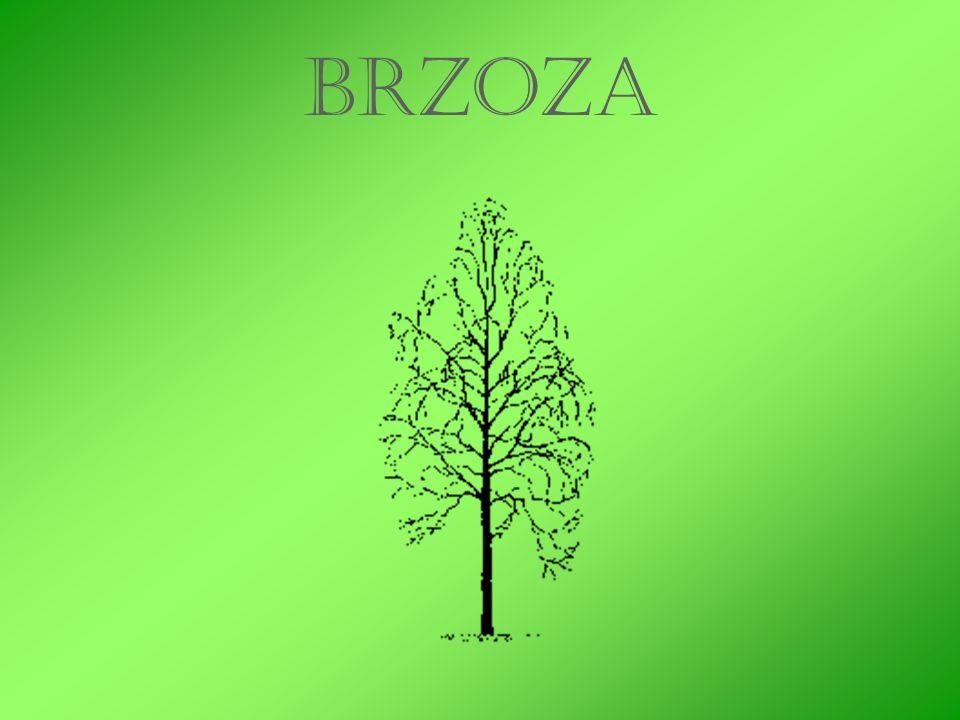 W zielarstwie stosuje się głównie liście i pąki brzozy.