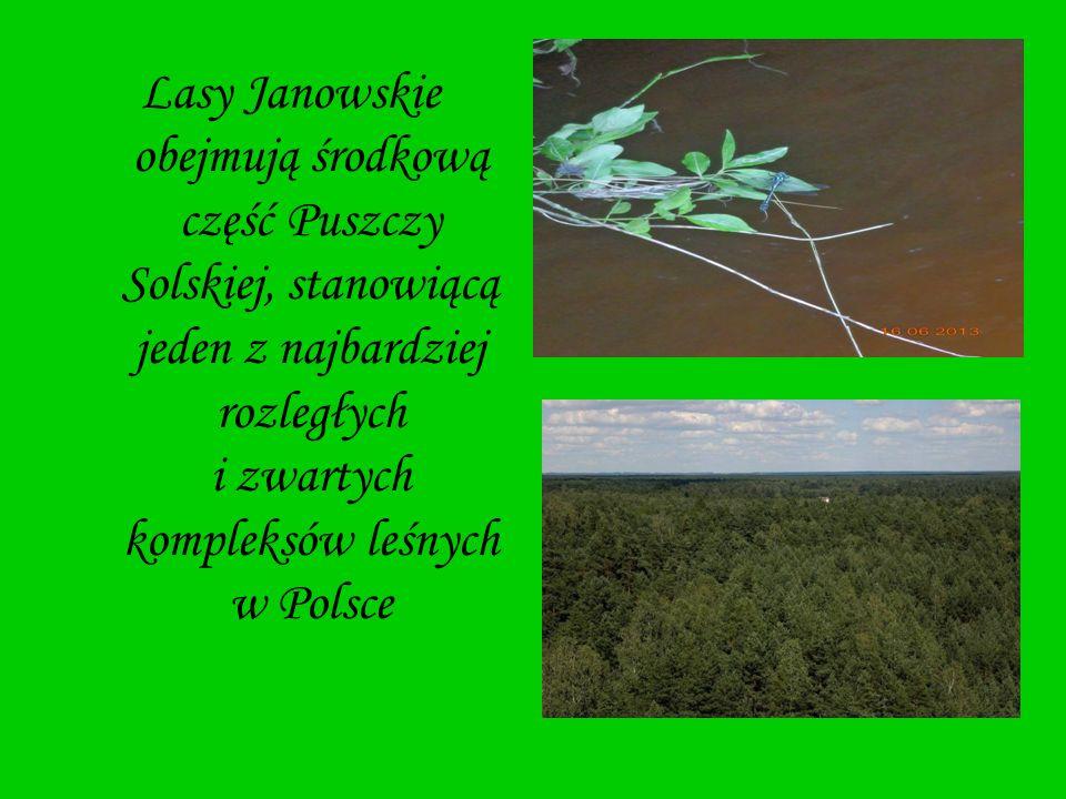 Lasy Janowskie obejmują środkową część Puszczy Solskiej, stanowiącą jeden z najbardziej rozległych i zwartych kompleksów leśnych w Polsce