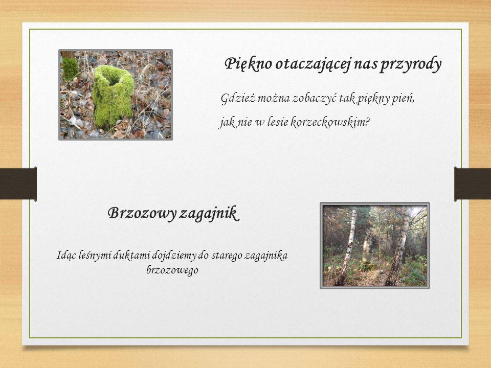Piękno otaczającej nas przyrody Gdzież można zobaczyć tak piękny pień, jak nie w lesie korzeckowskim.