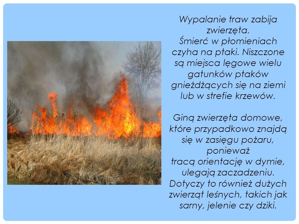 Wypalanie traw zabija zwierzęta. Śmierć w płomieniach czyha na ptaki. Niszczone są miejsca lęgowe wielu gatunków ptaków gnieżdżących się na ziemi lub