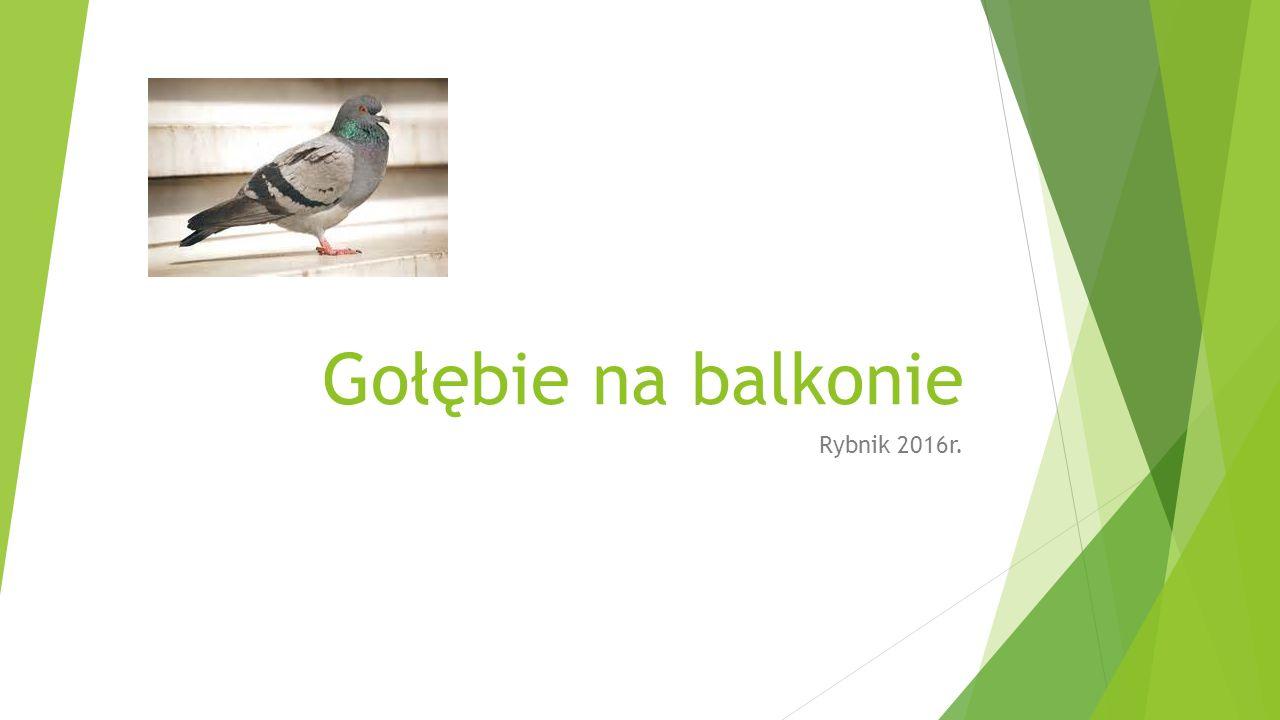 Gołębie na balkonie Rybnik 2016r.