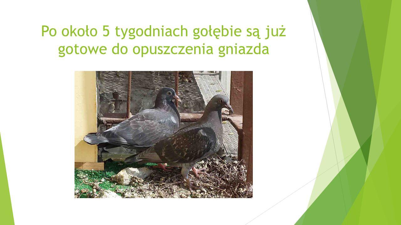 Po około 5 tygodniach gołębie są już gotowe do opuszczenia gniazda