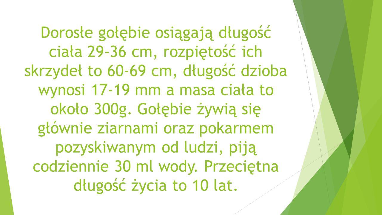 Dorosłe gołębie osiągają długość ciała 29-36 cm, rozpiętość ich skrzydeł to 60-69 cm, długość dzioba wynosi 17-19 mm a masa ciała to około 300g.