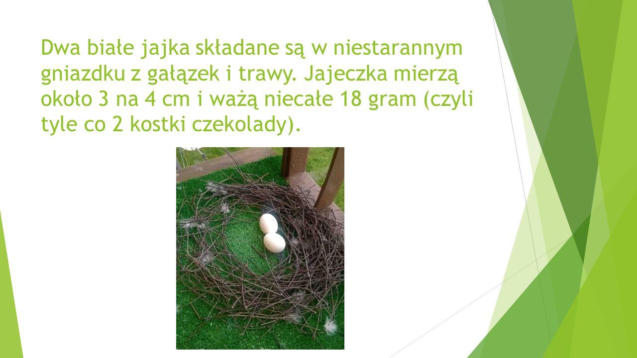 Dwa białe jajka składane są w niestarannym gniazdku z gałązek i trawy.
