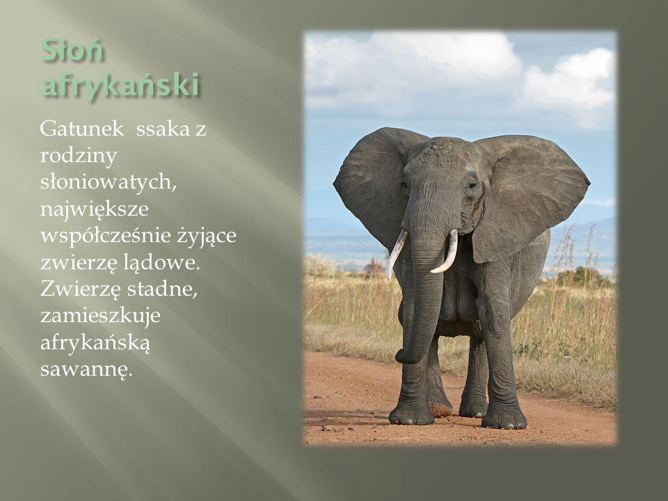 S ł o ń afryka ń ski Gatunek ssaka z rodziny słoniowatych, największe współcześnie żyjące zwierzę lądowe.