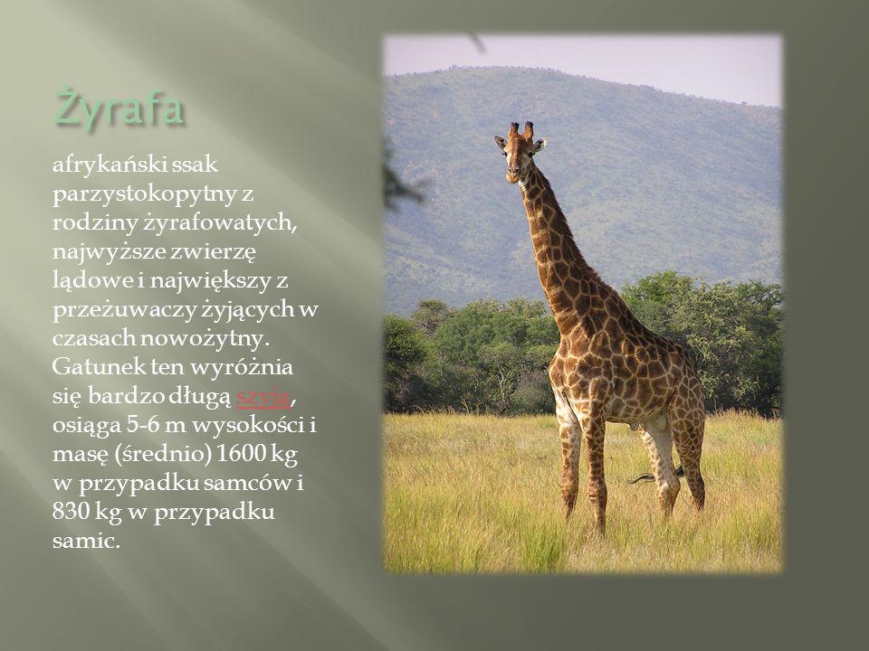 Ż yrafa afrykański ssak parzystokopytny z rodziny żyrafowatych, najwyższe zwierzę lądowe i największy z przeżuwaczy żyjących w czasach nowożytny.