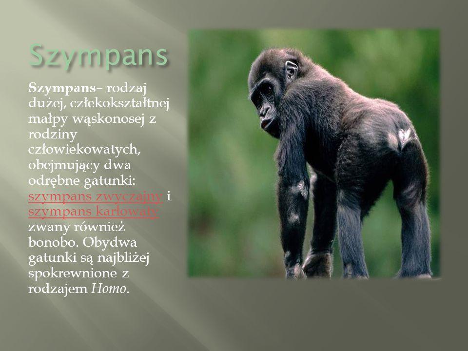 Szympans Szympans – rodzaj dużej, człekokształtnej małpy wąskonosej z rodziny człowiekowatych, obejmujący dwa odrębne gatunki: szympans zwyczajny i szympans karłowaty zwany również bonobo.