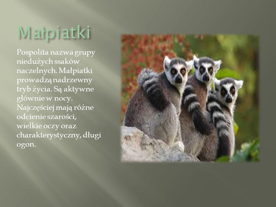 Ma ł piatki Pospolita nazwa grupy niedużych ssaków naczelnych.