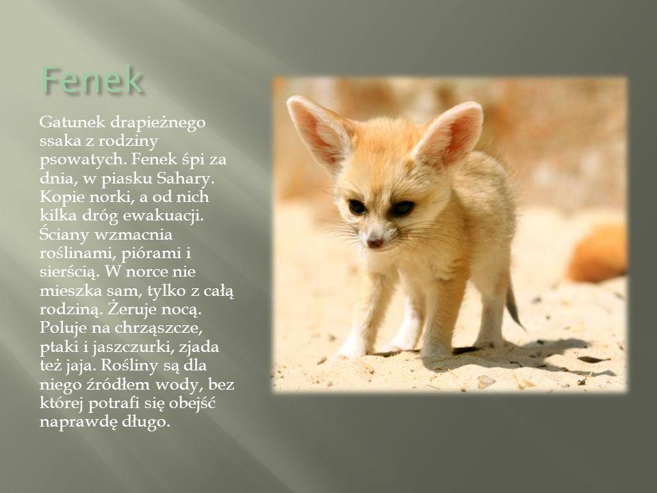 Fenek Gatunek drapieżnego ssaka z rodziny psowatych.