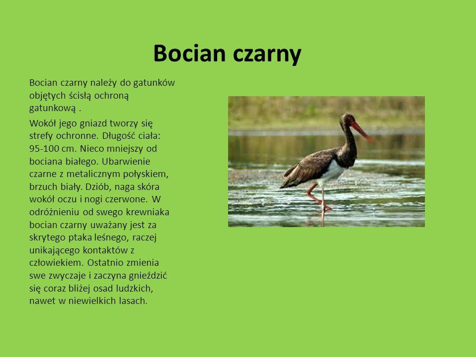 Bocian czarny Bocian czarny należy do gatunków objętych ścisłą ochroną gatunkową. Wokół jego gniazd tworzy się strefy ochronne. Długość ciała: 95-100