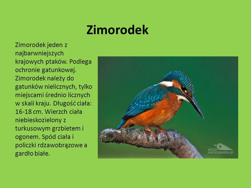 Zimorodek Zimorodek jeden z najbarwniejszych krajowych ptaków. Podlega ochronie gatunkowej. Zimorodek należy do gatunków nielicznych, tylko miejscami
