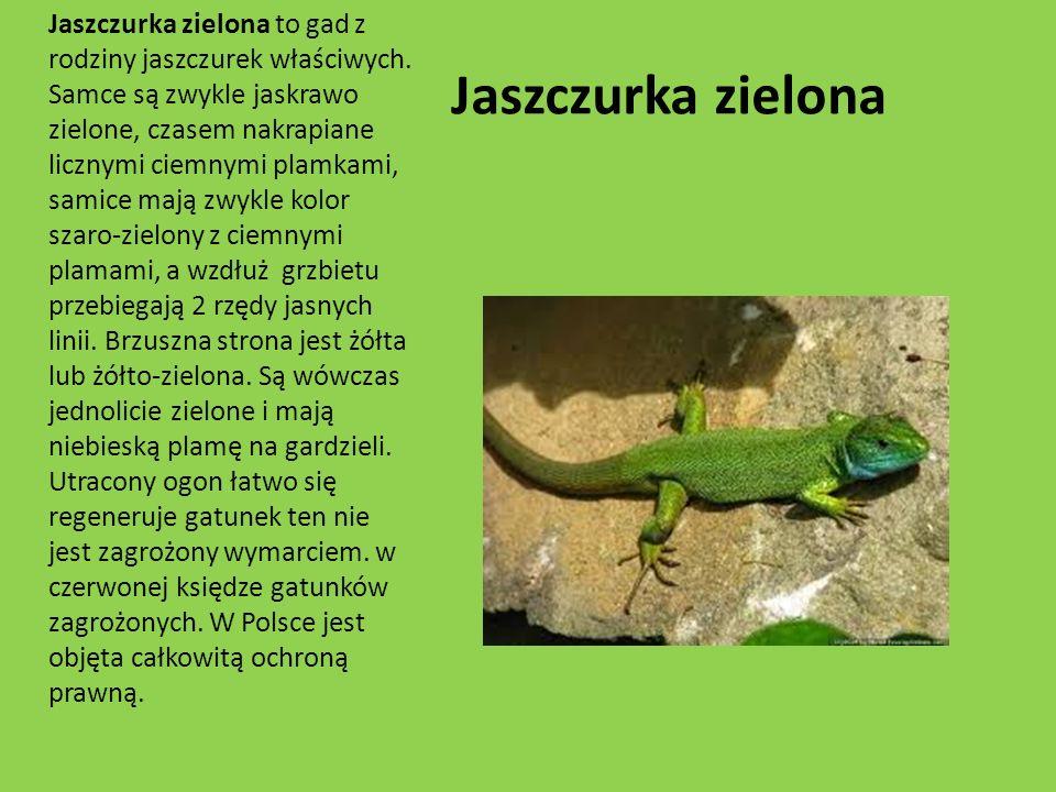 Jaszczurka zielona Jaszczurka zielona to gad z rodziny jaszczurek właściwych. Samce są zwykle jaskrawo zielone, czasem nakrapiane licznymi ciemnymi pl