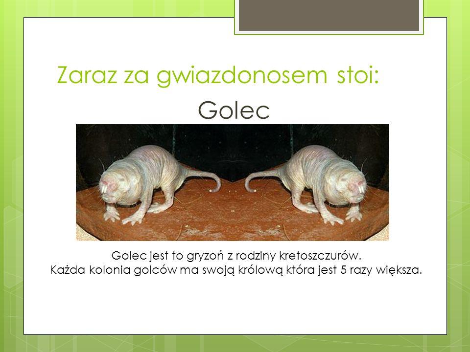 Zaraz za gwiazdonosem stoi: Golec Golec jest to gryzoń z rodziny kretoszczurów.