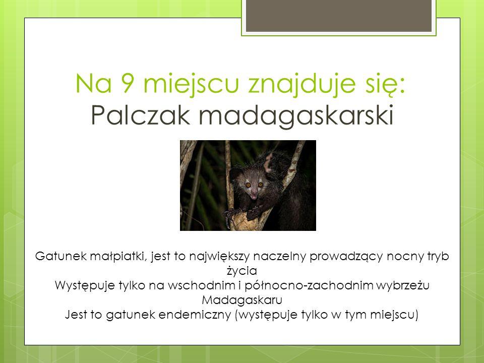 Na 9 miejscu znajduje się: Palczak madagaskarski Gatunek małpiatki, jest to największy naczelny prowadzący nocny tryb życia Występuje tylko na wschodnim i północno-zachodnim wybrzeżu Madagaskaru Jest to gatunek endemiczny (występuje tylko w tym miejscu)