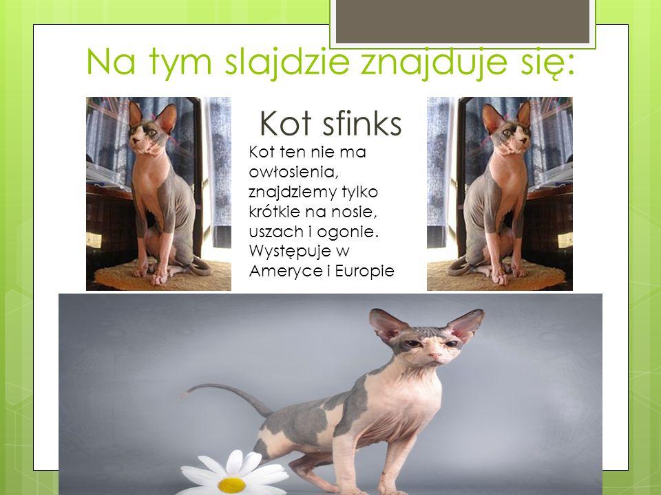 Na tym slajdzie znajduje się: Kot sfinks Kot ten nie ma owłosienia, znajdziemy tylko krótkie na nosie, uszach i ogonie.