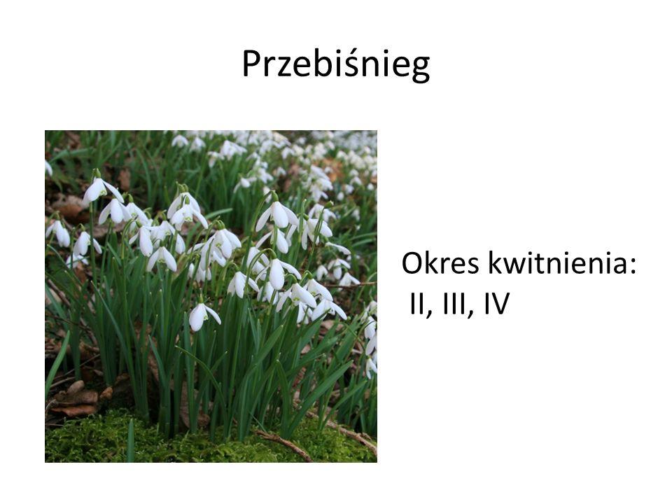 Przebiśnieg Okres kwitnienia: II, III, IV