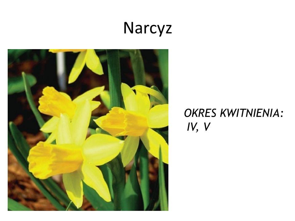 Narcyz OKRES KWITNIENIA: IV, V