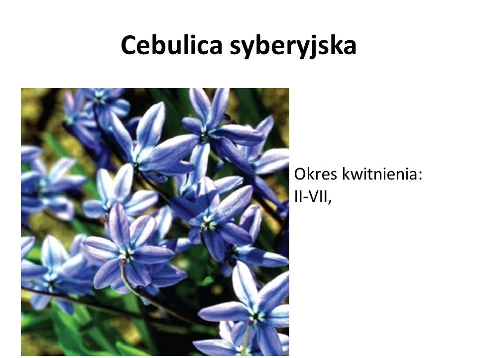 Cebulica syberyjska Okres kwitnienia: II-VII,