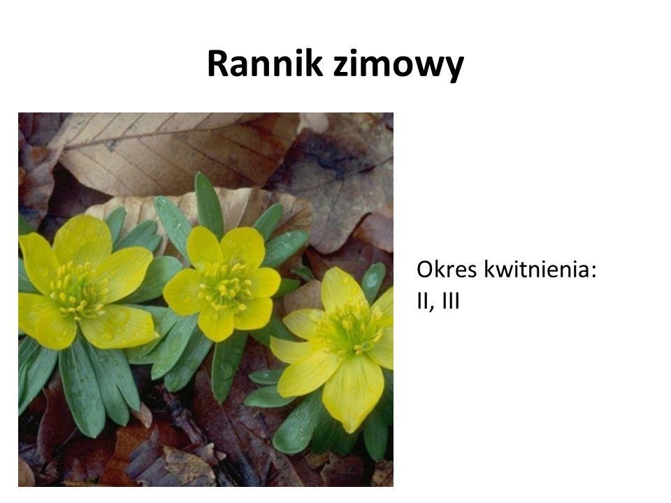 Rannik zimowy Okres kwitnienia: II, III