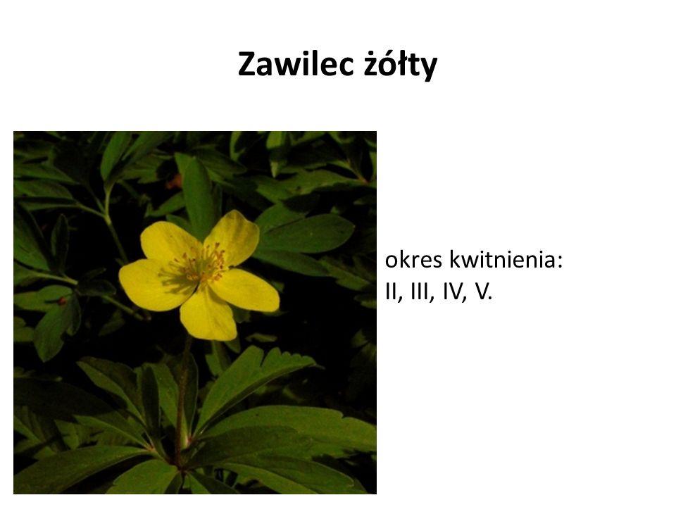 Zawilec żółty okres kwitnienia: II, III, IV, V.