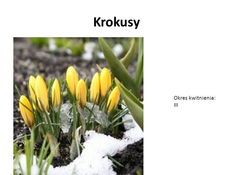 Forsycja Okres kwitnienia: III, IV
