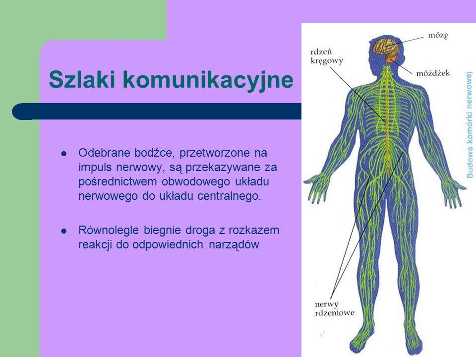 Szlaki komunikacyjne Odebrane bodźce, przetworzone na impuls nerwowy, są przekazywane za pośrednictwem obwodowego układu nerwowego do układu centralnego.