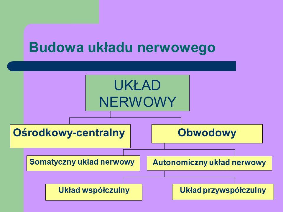 UKŁAD NERWOWY Ośrodkowy-centralnyObwodowy Somatyczny układ nerwowy Autonomiczny układ nerwowy Układ współczulnyUkład przywspółczulny Budowa układu nerwowego
