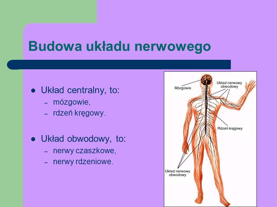 Układ centralny, to: – mózgowie, – rdzeń kręgowy.