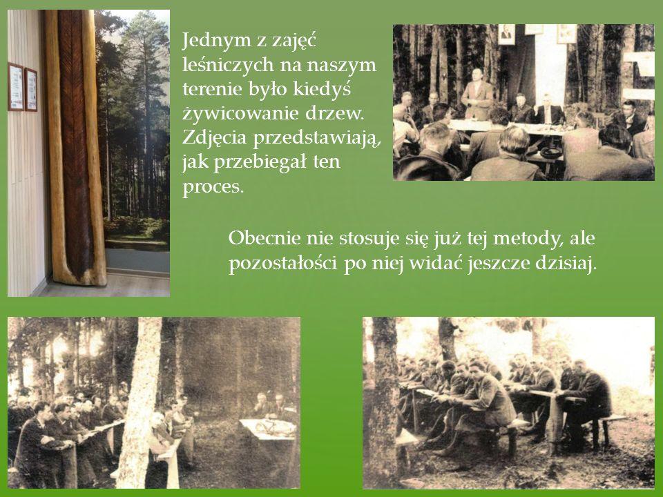 Jednym z zajęć leśniczych na naszym terenie było kiedyś żywicowanie drzew. Zdjęcia przedstawiają, jak przebiegał ten proces. Obecnie nie stosuje się j