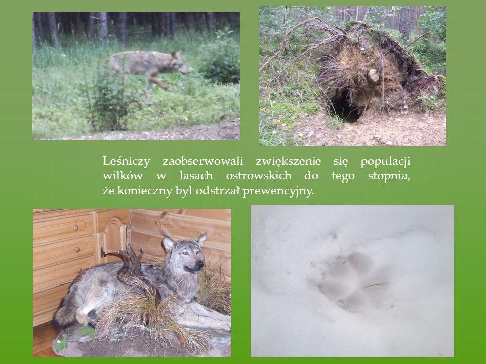 Leśniczy zaobserwowali zwiększenie się populacji wilków w lasach ostrowskich do tego stopnia, że konieczny był odstrzał prewencyjny.