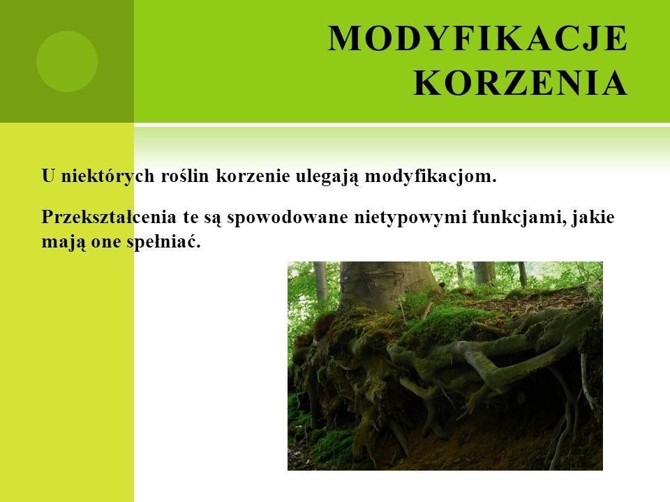 MODYFIKACJE KORZENIA U niektórych roślin korzenie ulegają modyfikacjom. Przekształcenia te są spowodowane nietypowymi funkcjami, jakie mają one spełni